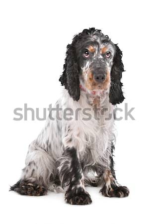 English Cocker Spaniel Stock photo © eriklam