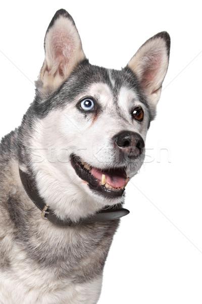 Husky белый собака фон портрет белом фоне Сток-фото © eriklam