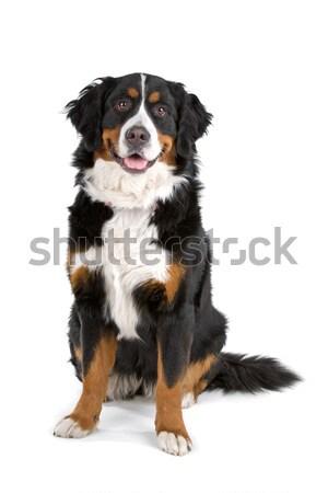 Berneński pies pasterski posiedzenia patrząc kamery odizolowany biały Zdjęcia stock © eriklam