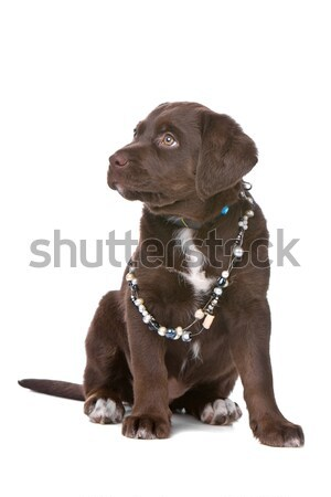 Chocolate labrador retriever blanco animales corte mascota Foto stock © eriklam