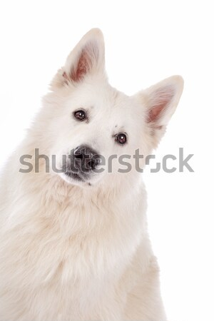 Blanche pasteur chien portrait animal fond blanc Photo stock © eriklam
