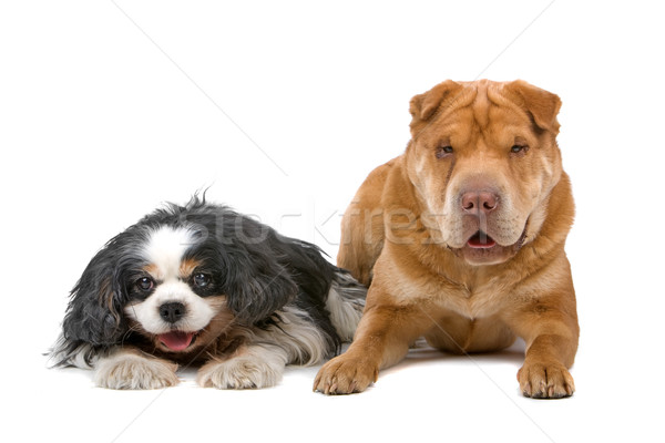 Cavalier King Charles Spaniel and a chinese Shar Pei dog Stock photo © eriklam