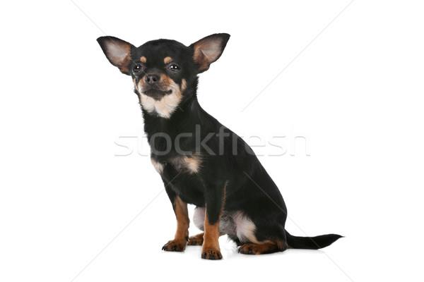 собака белый фон студию ПЭТ один Сток-фото © eriklam
