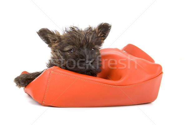 cairn terrier puppy Stock photo © eriklam
