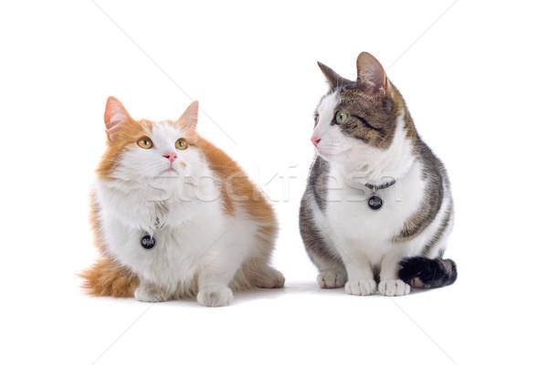 two british short haired cats Stock photo © eriklam