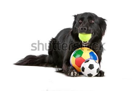 Border collie isolato bianco cane palla Foto d'archivio © eriklam