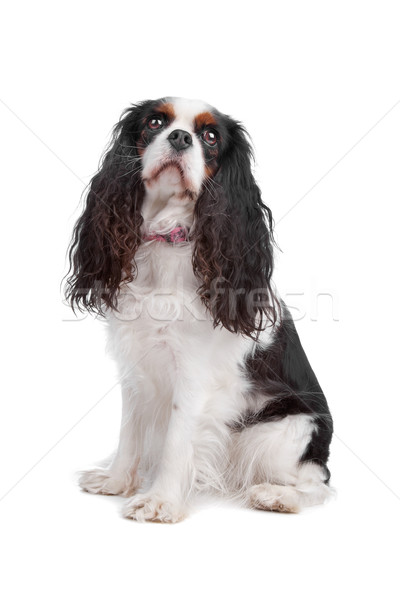 cavalier king charles spaniel dog Stock photo © eriklam