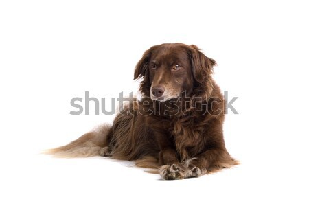 standard long haired Dachshund Stock photo © eriklam