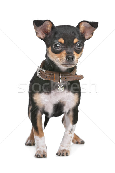 Black and Tan Chihuahua Stock photo © eriklam