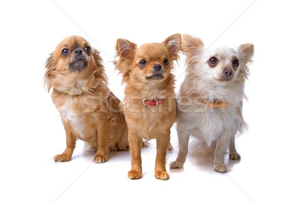 Três cães grupo isolado branco olhando Foto stock © eriklam