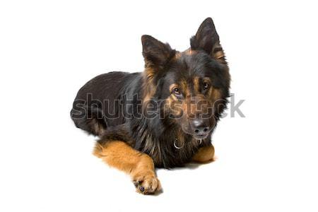 çoban köpek bakıyor kamera yalıtılmış Stok fotoğraf © eriklam