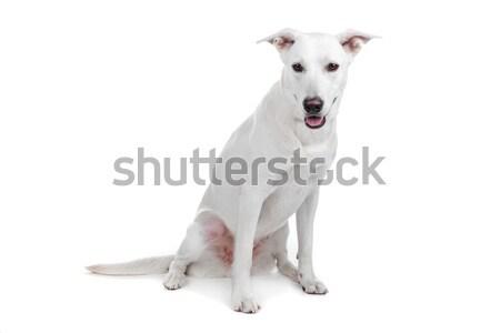 Mixed breed dog,  white shepherd  labrador Stock photo © eriklam
