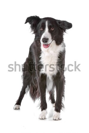 Border collie chien de berger blanche studio animal fond blanc Photo stock © eriklam
