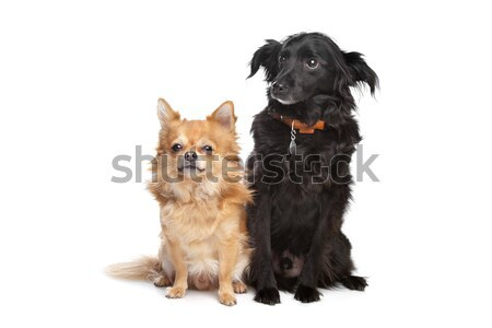 chihuahua and a black mixed breed dog Stock photo © eriklam