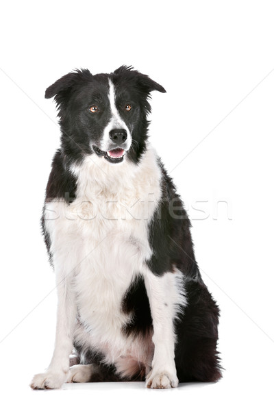 Border collie çoban köpeği beyaz köpek hayvan stüdyo Stok fotoğraf © eriklam