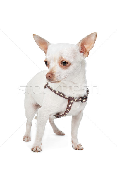 White Chihuahua Stock photo © eriklam
