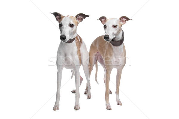 Two Whippet hounds Stock photo © eriklam