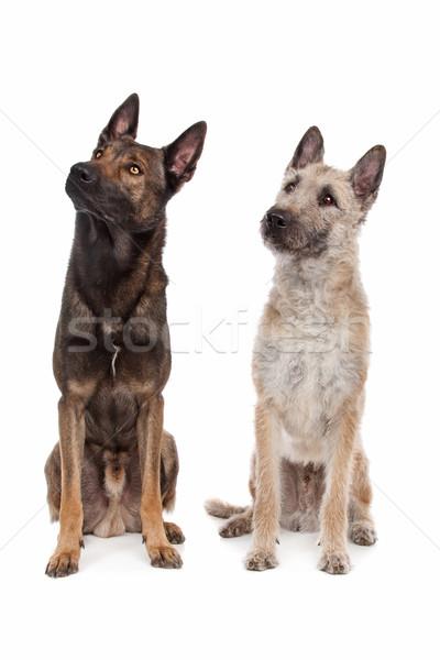 Due pastore belga cani bianco Foto d'archivio © eriklam