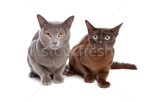 two Burmese cats Stock photo © eriklam