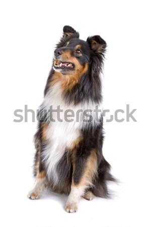 Shetland sheepdog (sheltie) Stock photo © eriklam