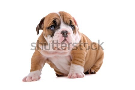 Photo stock: Bulldog · chiot · cute · séance · isolé