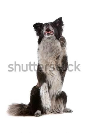 Border collie isolato bianco cane giocare Foto d'archivio © eriklam
