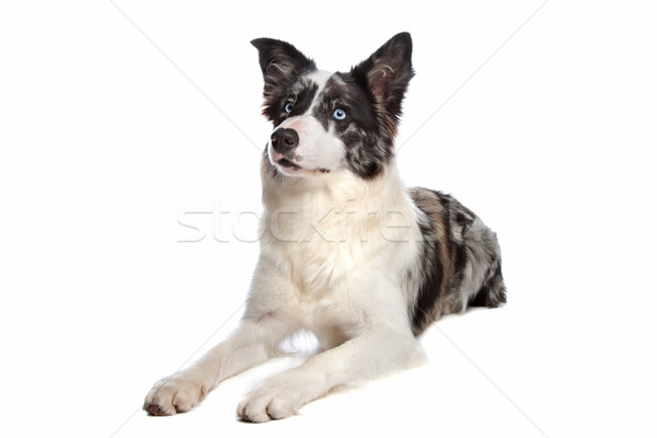 Border collie chien de berger blanche yeux studio animal Photo stock © eriklam