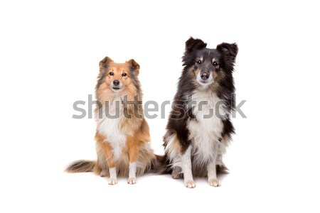 Chien de berger couple fond amis animaux coupé Photo stock © eriklam