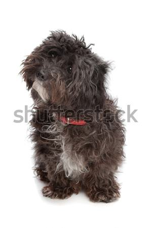 black pekingese puppy Stock photo © eriklam