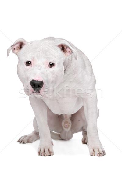 American bulldog bianco cane sfondo studio protezione Foto d'archivio © eriklam