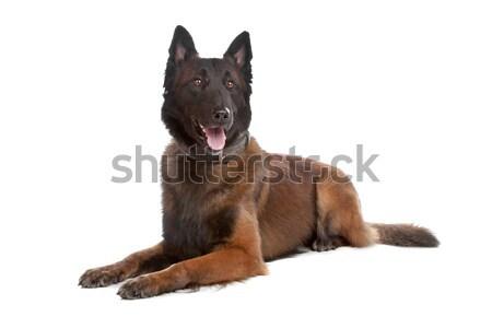 Сток-фото: Бельгия · пастух · собака · изолированный · белый · фон