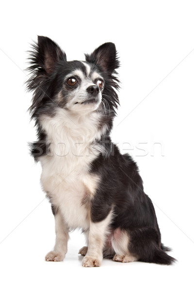Stock photo: long-haired Chihuahua