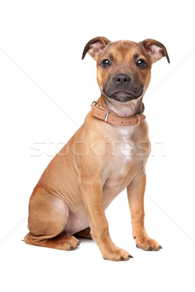 Staffordshire Bull Terrier puppy Stock photo © eriklam