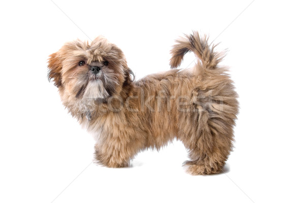 maltese puppy Stock photo © eriklam