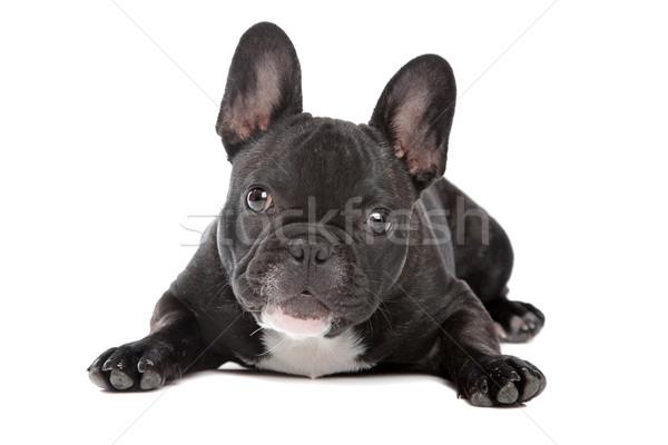 Feketefehér francia bulldog fehér kutya állat Stock fotó © eriklam