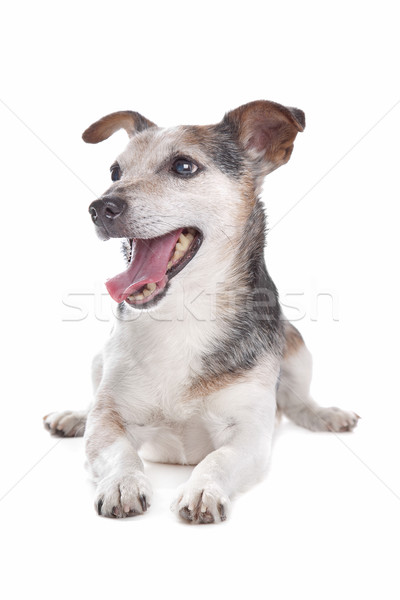 old and blind jack russel terrier Stock photo © eriklam