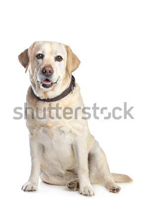 Labrador retriever fehér kutya háttér labor állat Stock fotó © eriklam