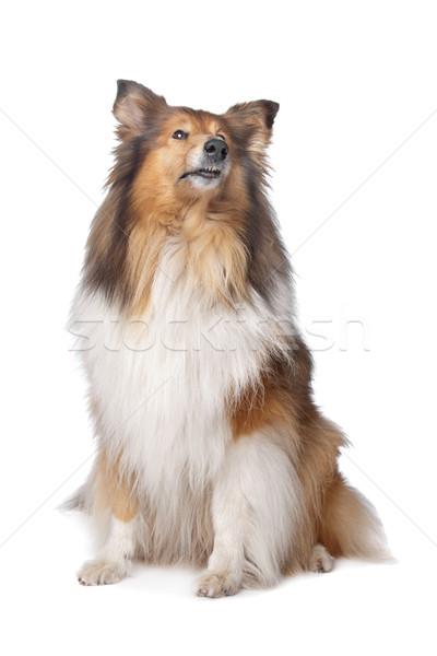 Szorstki psa tle biały posiedzenia białe tło Zdjęcia stock © eriklam
