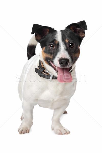Terriyer beyaz köpek arka plan beyaz arka plan memeli Stok fotoğraf © eriklam
