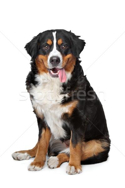 Berneński pies pasterski biały psa górskich studio posiedzenia Zdjęcia stock © eriklam