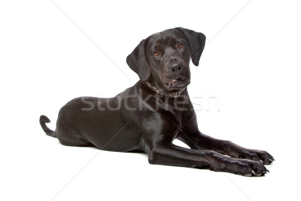 Stock photo: mixed breed lab cross
