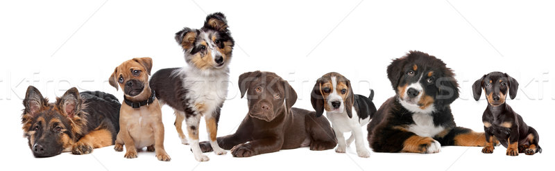 Stock photo: large group of puppies on a white background