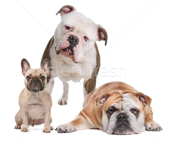 The Bulldog Family Stock photo © eriklam