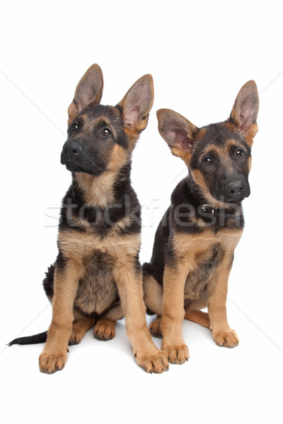 two German shepherd puppies Stock photo © eriklam