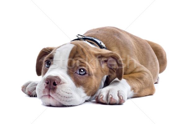 ブルドッグ 子犬 白 犬 孤立した 白地 ストックフォト © eriklam