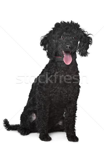 Nero barboncino bianco cane sfondo sfondo bianco Foto d'archivio © eriklam