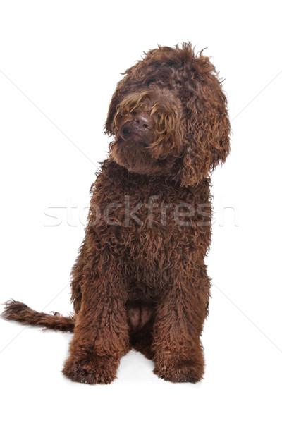 Brown Labradoodle Stock photo © eriklam