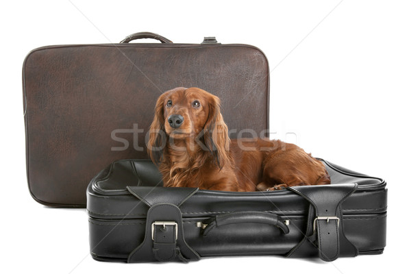 Dog on suitcase Stock photo © eriklam