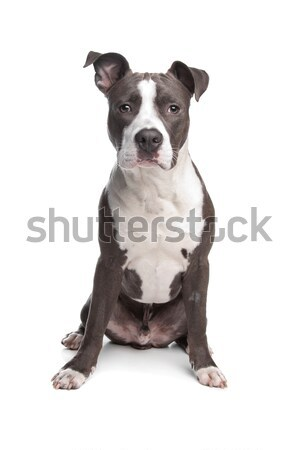 American Staffordshire Terrier puppy Stock photo © eriklam