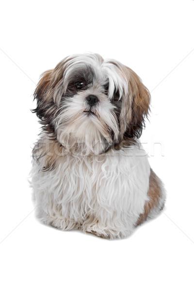 Branco animal de estimação isolado cachorro de brinquedo Foto stock © eriklam